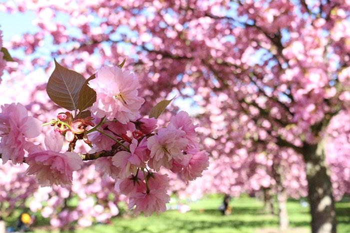 hanami-parc-de-sceaux-2015-cerisiers-en-fleurs-fete-japonaise-region-parisienne-pique-nique-sous-les-cerisiers-printemps-2015-hanami-cherrytree-cherryblossom-3