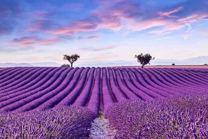 Lavender_Fields_in_Provence